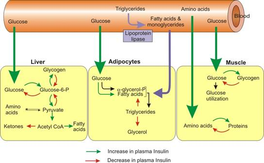 Insulin and Triglycerides