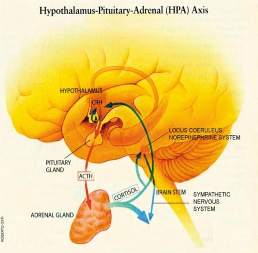 HPA Stress response
