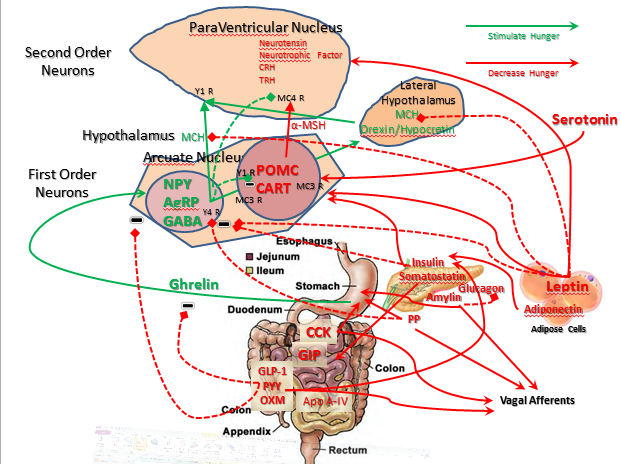Neurohormones of Hunger