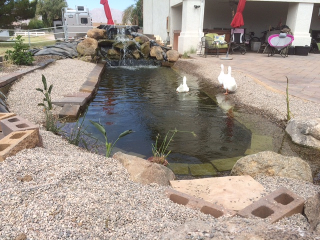 Aquaponics koi duck pond amazingly clear water a for Aquaponics pond