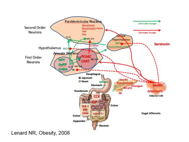 Leptin Effect on Hypothalamus