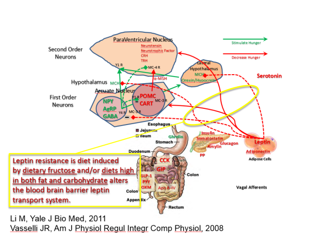 Leptin resistance causes
