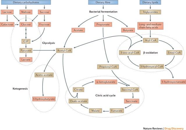 Metabolism macronutrients