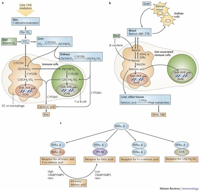 Metabolic effects of vitamins on the Immune System
